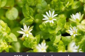 Chickweed Nutrition Information