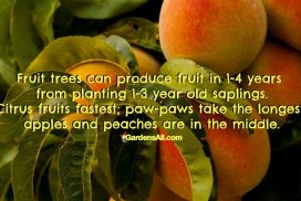 Fruit Trees Can Produce Fruit in 1-4 Years