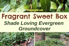 Fragrant Sweet Box Groundcover