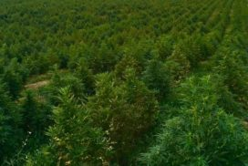 Hemp and Marijuana CBD Oil and Extracts Are Now Legal