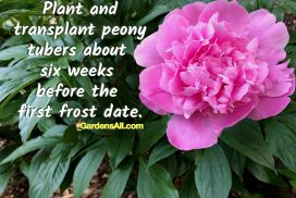 Peony Tubers Plant and Transplant