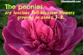 Peonies Are Luscious Full Blossom Flowers