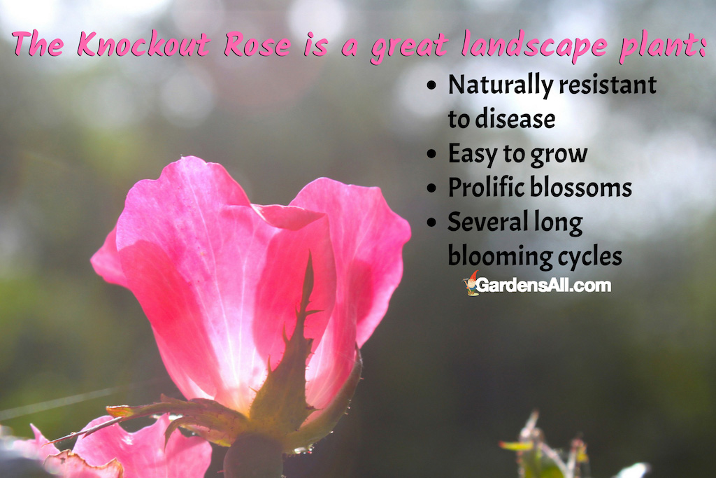 The Knockout Rose is a Great Landscape Plant