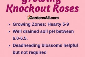 Growing Knockout Roses