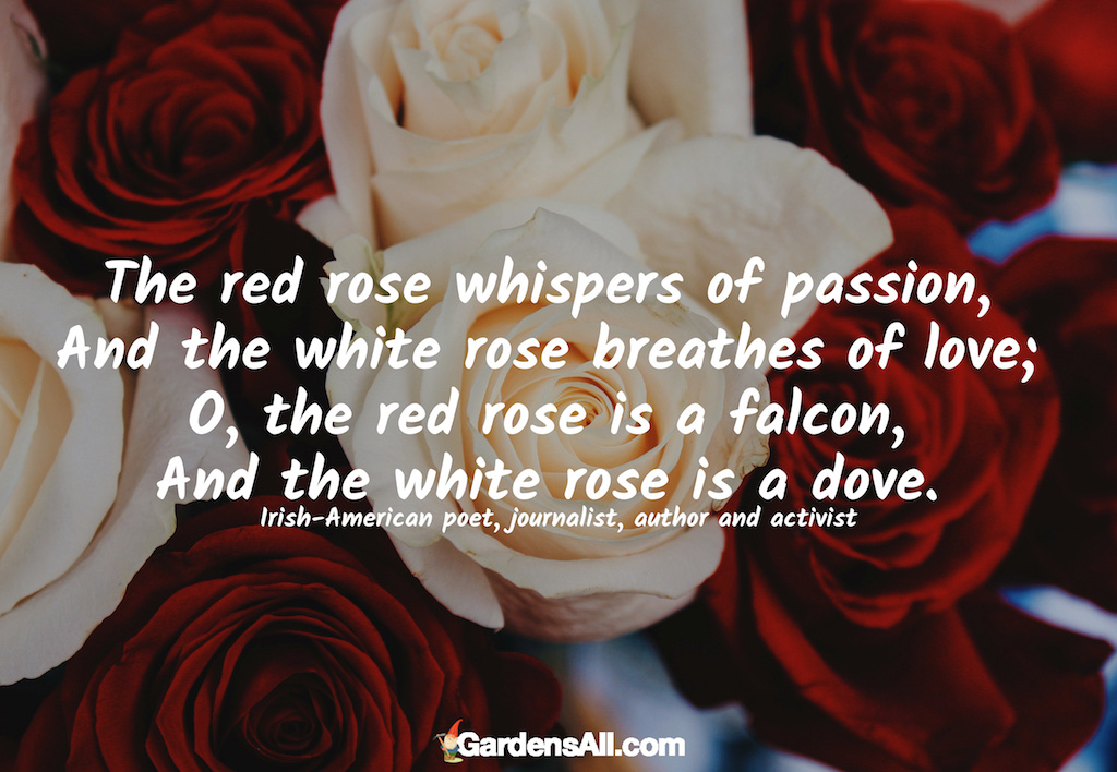 Red and White Rose Comparison