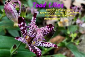 Toad Lilies Bloom From Mid-summer to Autumn