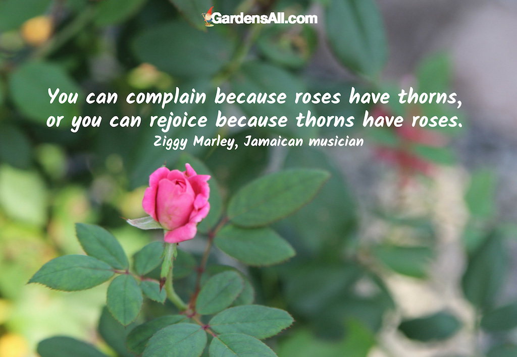You can Complain or Rejoice by the Roses with Thorns