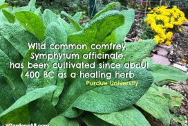 Comfrey Cultivated As a Healing Herb