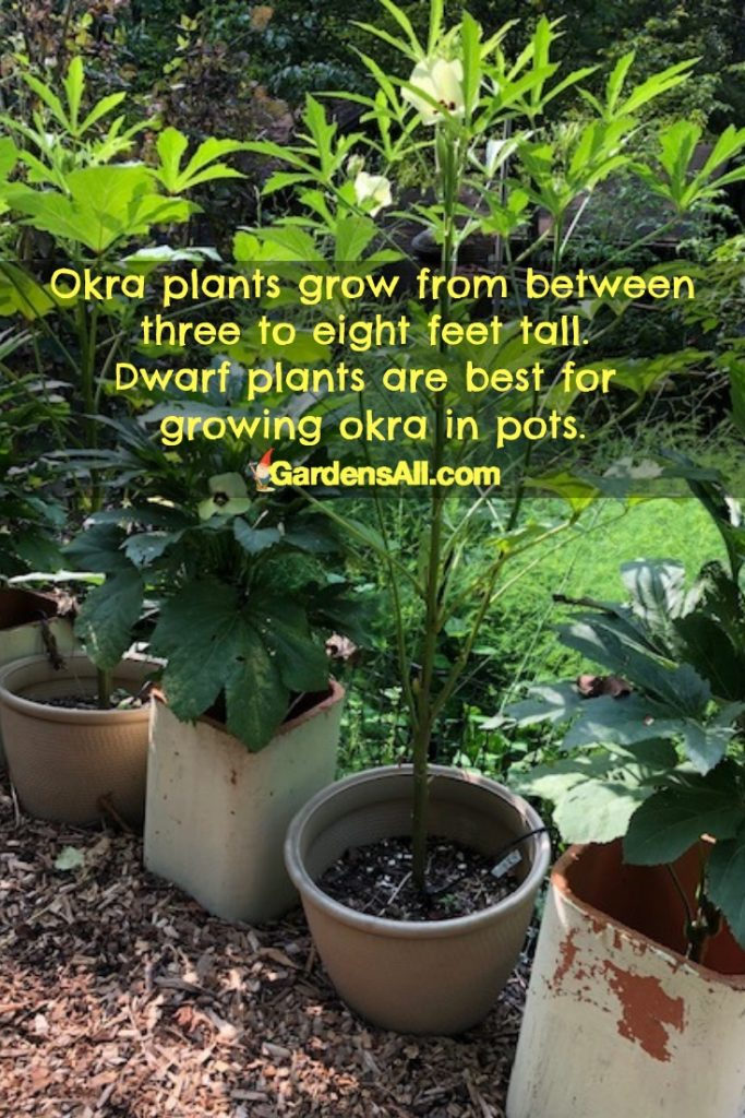 Growth of Okra