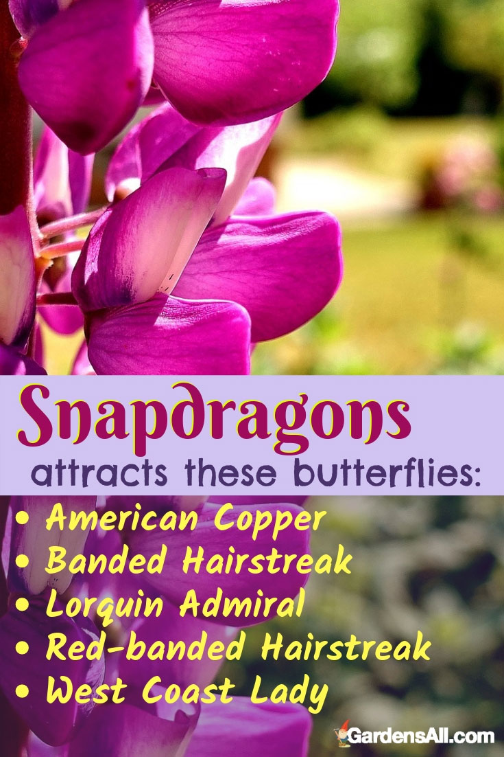 Snapdragons Attracts Butterflies