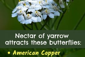 Nectar of Yarrow Attracts Butterflies