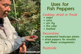 Uses for Fish Peppers