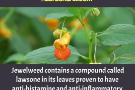 Jewelweed Works Better Than Calamine Lotion