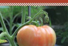 Pruning Tomato