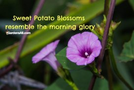 Sweet Potato Blossoms Resemble The Morning Glory